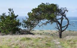 Wind gemeißelte Monterey-Kiefer auf der Kalifornien-Küste stockbilder