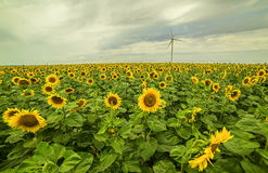 Wind generators in the field of sunflowers. And stormy sky with clouds and rain Royalty Free Stock Images