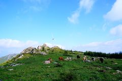 Wind driven generators and cows with blue sky. Lots of wind driven generators on the top of mountain and cows with blue sky, Iceberg beam in Hebei Province royalty free stock image