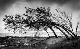 Wind Geveegde Bomen Stock Afbeeldingen