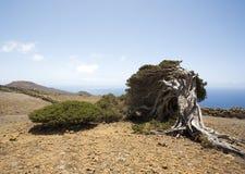 Wind gevormde jeneverbessenboom, Gr Hierro Royalty-vrije Stock Afbeelding