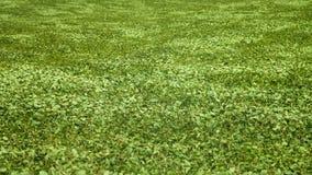 Wind on the green buckwheat stock video footage