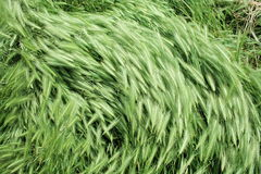 Wind on green grass 2 Royalty Free Stock Image