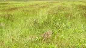 Wind on green grass on field stock video