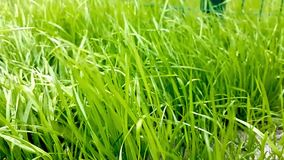 Wind on green grass. Green grass rain drops the sun is shining. drops of rain the sun is shining blurred background stock footage