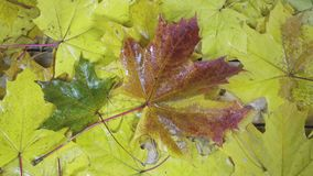 The wind gust blows off the green, red and yellow leaves of a maple lying on a wooden flooring in sunny autumn day.  stock video footage