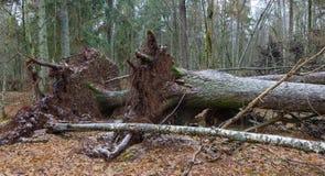 Wind het gebroken oude Noorse Nette boom twee liggen Stock Foto's