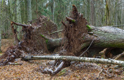 Wind het gebroken oude Noorse Nette boom twee liggen Stock Afbeeldingen