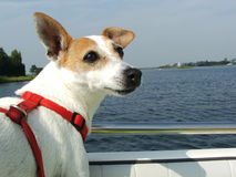 A Dog Enjoying The Wind in His Ears on a Boat Royalty Free Stock Photo