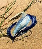 By-the-wind jelly fish aka velella. Blue jelly fish found in California Royalty Free Stock Photo