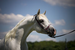 Wind in mane. White arabian horse on the blue sky Royalty Free Stock Images