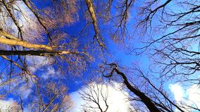 Wind moves branches in forest on blue sky stock video