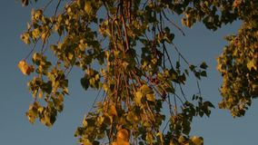 Coloured leaves of a birch tree in autumn stock footage