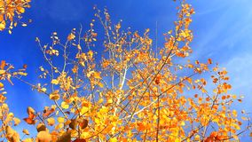 Wind moves yellow autumn leaves stock video