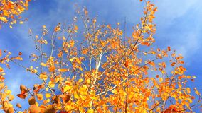 Wind moves yellow autumn leaves stock footage
