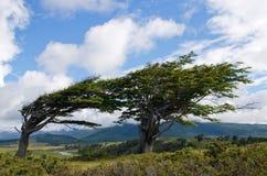 Wind-neiging bomen in Fireland (Tierra del Fuego) royalty-vrije stock afbeeldingen