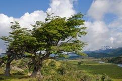 Wind-neiging bomen in Fireland (Tierra del Fuego), Patagonië, Argen Royalty-vrije Stock Afbeeldingen
