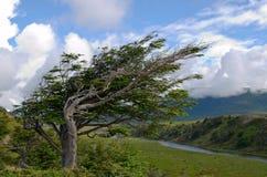 Wind-neiging boom in Fireland (Tierra del Fuego), Patagonië, Argent stock fotografie