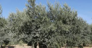 Wind in the olive`s tree near Maussane Les Alpilles in the South East of France, Real Time. 4K stock video footage