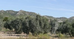 Wind in the olive`s tree near maussane les alpilles in the south East of France, real time. 4K stock video