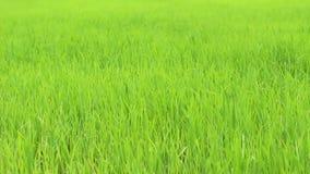 Wind op groen gras stock footage