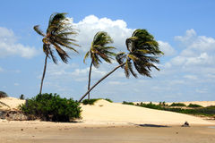 Wind in the palms. Beach with dunes and palm trees moving by the wind Royalty Free Stock Photos