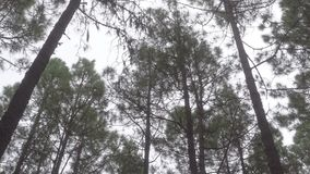 Wind in pine tree forest. Rocking trunks stock footage