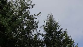 Wind through pine trees. Wind blowing through the branches of pine trees against an overcast sky stock video
