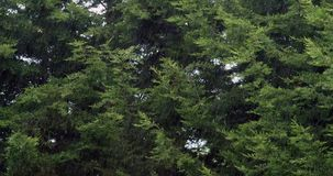 Wind in Pine Trees, Normandy stock video footage