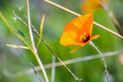 Wind poppy Papaver heterophyllum stock photos