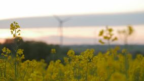Wind power station in field with oil seed plants. stock video footage