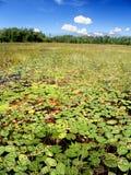Wind Pudding Lake Northwoods Wisconsin. Emergent aquatic vegetation covers Wind Pudding Lake in northwoods Wisconsin stock photo