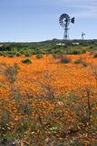 Wind pump in field of orange flowers Royalty Free Stock Photos