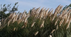 Wind in the reeds, Camargue, in the South East of France, Real Time. 4K stock footage