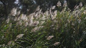 Wind in the Reeds, Scamandre park in Camargue, in the South East of France,. Slow motion stock video