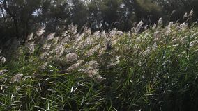 Wind in the Reeds, Scamandre park in Camargue, in the South East of France. Slow motion stock footage