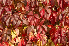 Wind rustles branches of parthenocissus Royalty Free Stock Photography