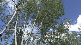 Wind rustling aspen leaves cripple creek Colorado. Features a static shoot of aspen tress with leaves being rustled by the wind in Cripple Creek Colorado stock video footage