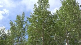 Wind rustling aspen leaves green mountain Colorado. Features a static shoot of aspen tress with leaves being rustled by the wind in Green Mountain Falls stock video