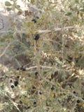Camel thorn stock photos