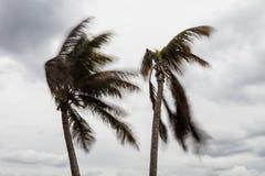 Wind-Schlagkokosnuss-Palmen Lizenzfreies Stockbild