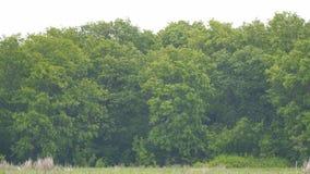 Wind schwingt die Niederlassungen der Bäume stock video footage