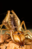 A wind scorpion. A macro image of a wind scorpion showing off its fangs stock photo