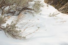 Wind sculpted snow and sagebrush. Sagebrush branches emerge from the wind sculpted snow in this winter detail scene Stock Images