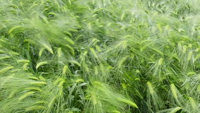 Wind that shakes the barley stock footage