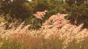 Wind shakes blossoming grass against tropical trees at dawn stock footage