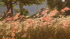 Wind shakes blossoming grass against tropical villa at dawn stock footage
