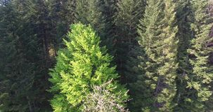Wind shakes the branches high spruces. Aerial view. Wind shakes the branches high spruces, dense coniferous forest, evergreen centuries old pine trees, the sun stock video