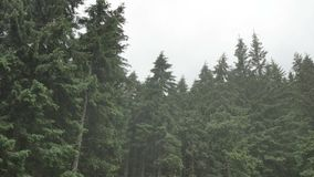 Wind shakes the branches high spruces in rainy day.  stock video footage