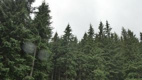 Wind shakes the branches high spruces in rainy day.  stock footage